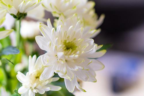 葬式に使われる白い菊